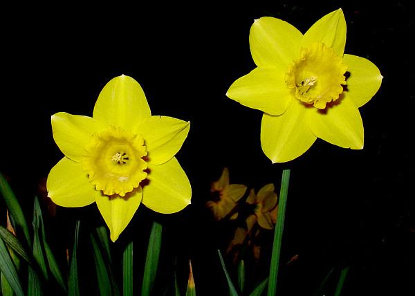 http://www.kachold.de/webcam/wca2004/narzisse.jpg